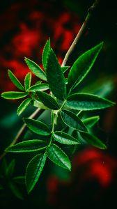 Превью обои листья, зеленый, крупным планом, размытость