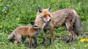 Превью обои лисы, детеныш, мама, семья, нежность, забота, милый