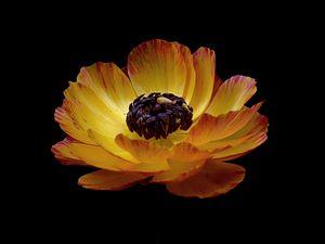 Превью обои лютик, цветок, стебель, бутон