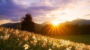 Превью обои лучи, солнце, нарциссы, цветы, трава
