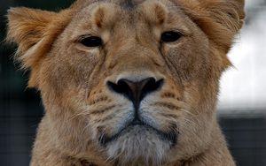 Превью обои львица, лев, взгляд, животное, хищник