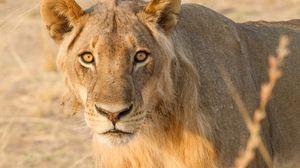 Превью обои львица, усы, хищник, уши