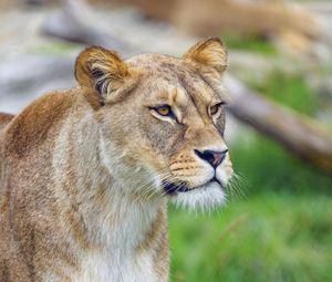 Превью обои львица, животное, большая кошка