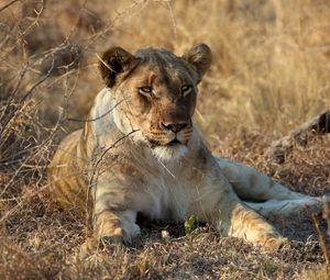 Превью обои львица, животное, хищник, большая кошка, дикая природа