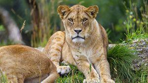 Превью обои львица, животное, взгляд, хищник, большая кошка