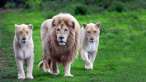 Превью обои львы, семья, трава, прогулка, походка, хищники