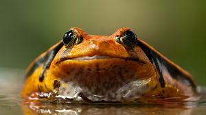 Превью обои лягушка, жаба, глаза