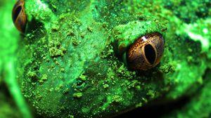 Превью обои лягушка, жаба, макро