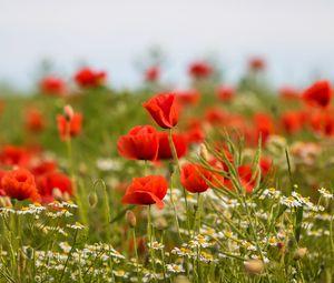 Превью обои маки, цветы, поле, растения, макро