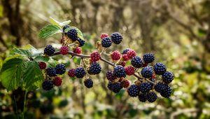 Превью обои малина, ежевика, ягоды, ветка