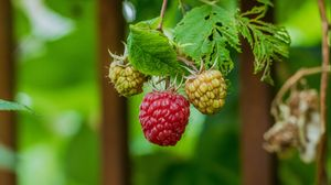 Превью обои малина, ягода, куст, макро