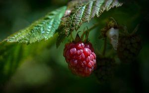 Превью обои малина, ягода, спелый, лист