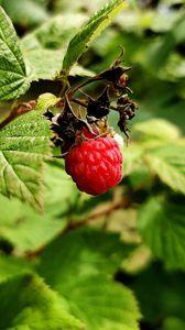 Превью обои малина, ягода, ветка, листья