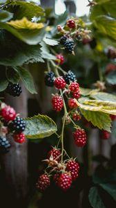 Превью обои малина, ягоды, ветки