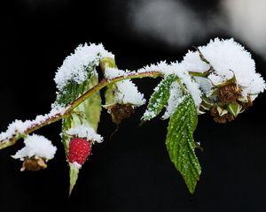 Превью обои малина, ветка, зима, снег