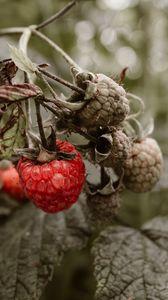 Превью обои малина, ягода, куст