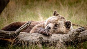 Превью обои медведь, бурый, бревно, отдых