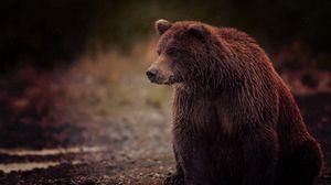 Превью обои медведь, бурый, мокрый, сидит, косолапый