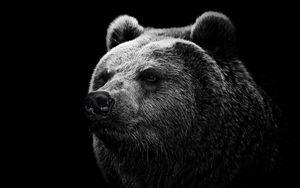 Превью обои медведь, гризли, взгляд, нос
