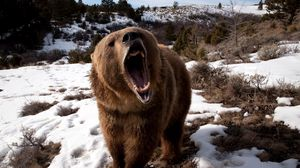 Превью обои медведь, оскал, трава, снег, агрессия