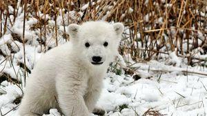 Превью обои медведь, полярный медведь, детеныш, снег, трава, страх