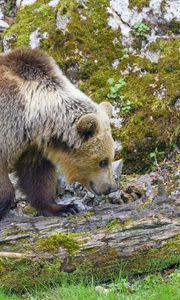 Превью обои медведь, животное, дикая природа