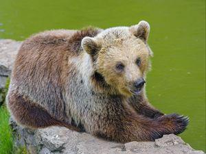 Превью обои медведь, животное, хищник