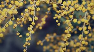 Превью обои мимоза, цветы, красиво