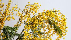 Превью обои мимоза, цветы, ветка, растение, желтый