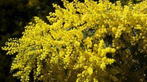 Превью обои мимоза, ветки, кустарник, пушистая, яркая, весна