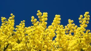 Превью обои мимоза, ветки, желтая, пушистая, крупный план, небо
