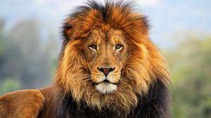 Превью обои морда, взгляд, лев, шерсть, грива
