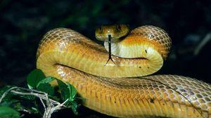 Превью обои морда, язык, змея, взгляд