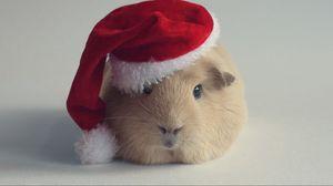 Превью обои морская свинка, шапка, новый год