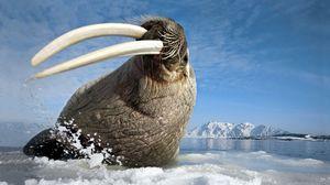 Превью обои морж, бивни, клыки, море, жест, прыжок, охота