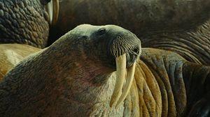 Превью обои морж, клыки, бивни, морда, тело, складки