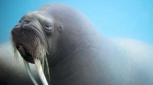 Превью обои морж, клыки, морда, размытость