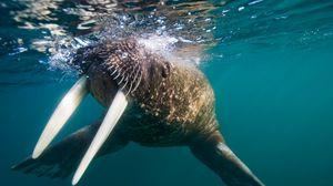 Превью обои морж, клыки, плавать, брызги