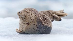 Превью обои морж, тюлень, снег, лежать