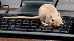 Превью обои мышь, крыса, клавиатура, лазать, грызун