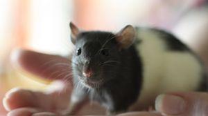 Превью обои мышь, крыса, морда, грызун
