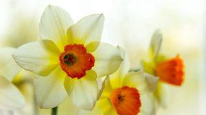 Превью обои нарцисс, цветок, лепестки