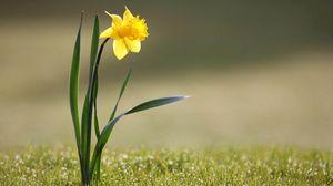 Превью обои нарцисс, цветок, желтый, стебель