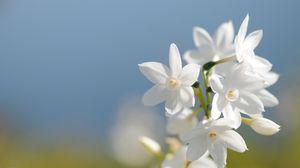 Превью обои нарцисс, цветы, фон