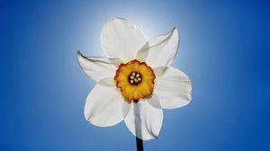 Превью обои нарцисс, цветы, небо, крупный план