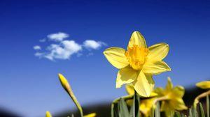 Превью обои нарциссы, цветы, бутоны, небо, весна, облако