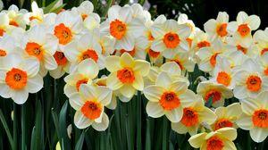 Превью обои нарциссы, цветы, клумба, весна, настроение