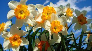 Превью обои нарциссы, цветы, небо, весна, клумба, солнечно