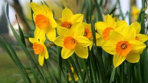 Превью обои нарциссы, цветы, яркие, клумба, весна