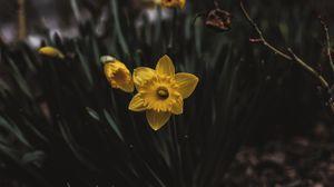 Превью обои нарцисс, клумба, цветы, размытость